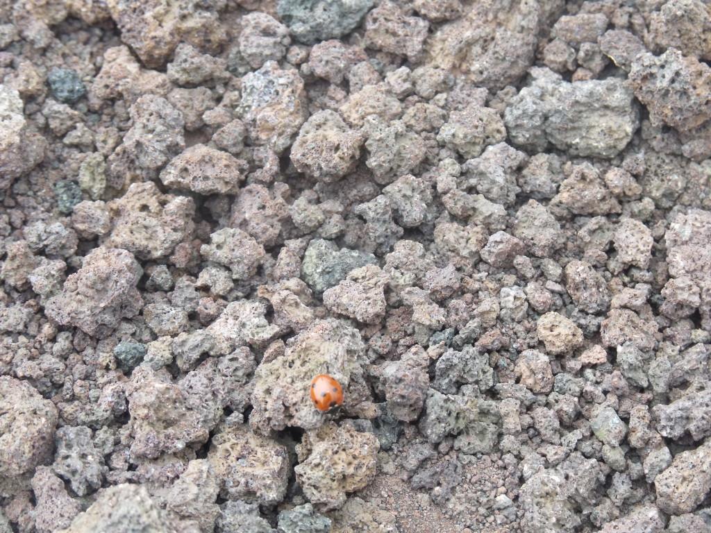 Il fenomeno delle coccinelle sull'Etna
