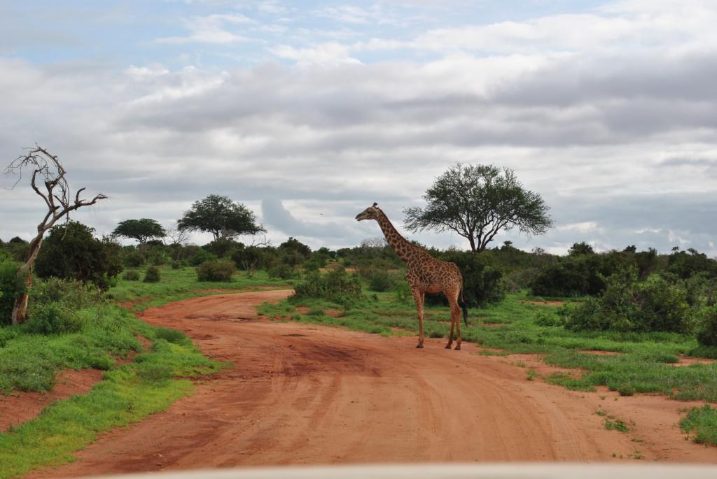 l'avvistamento di una giraffa che attraversa la strada