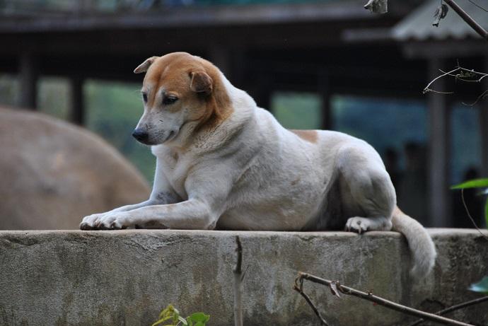 Uno dei cani dell'Elephant Nature Park