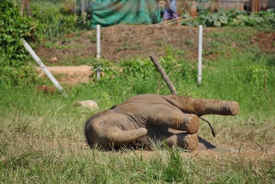 Elefantino agonizzante