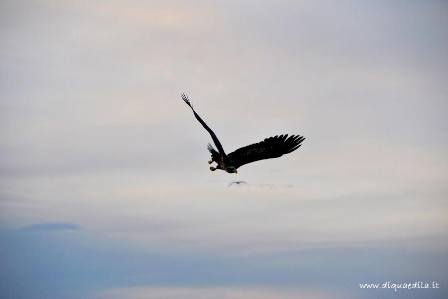 Aquila di mare in volo fra i fiordi