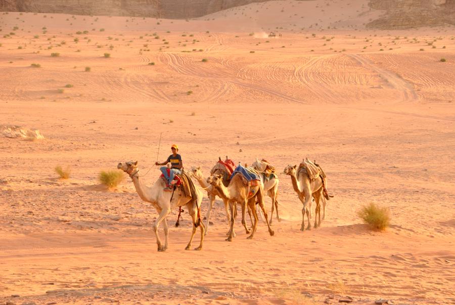 Cammelli nel deserto del Wadi Rum