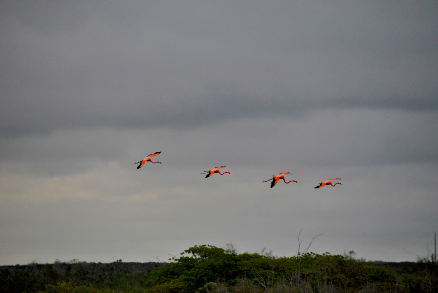 Fenicotteri in volo alle Galapagos