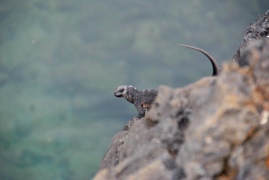 Se un'iguana è incazzosa, lo capisci dalla coda