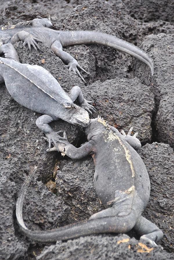 Bacio fra Iguane marine
