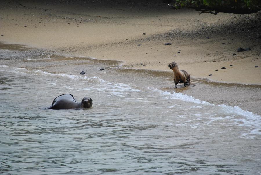 Leone marino mamma con cucciolo, Isole Tintoreras