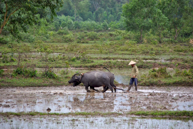 Risaie nel nord del Vietnam
