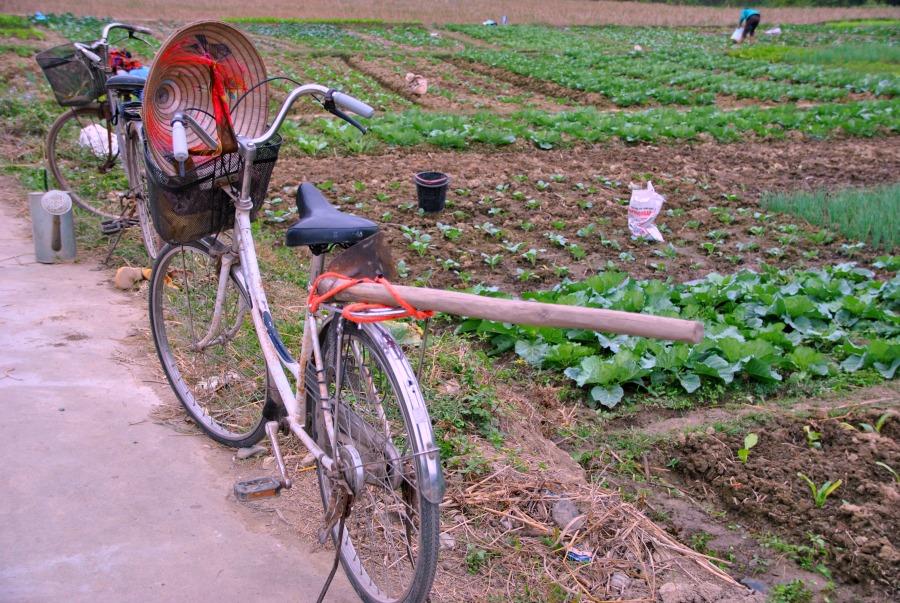 Le lavoratrici nelle risaie si spostano con le loro biciclette