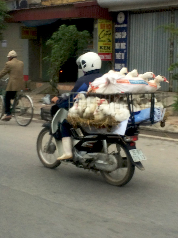 Animali in motorino Vietnam