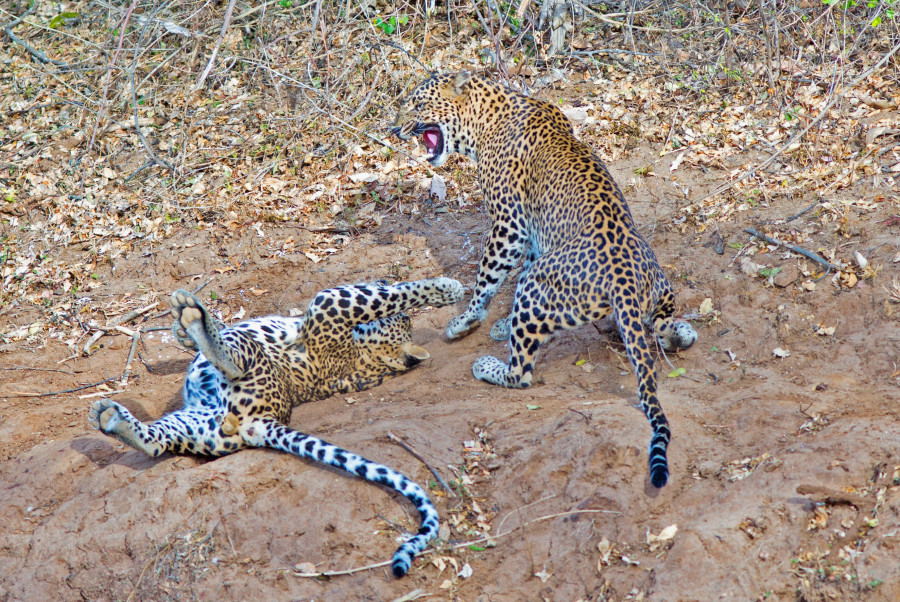 Asian Leopards at play in Yala National Park via shutterstock