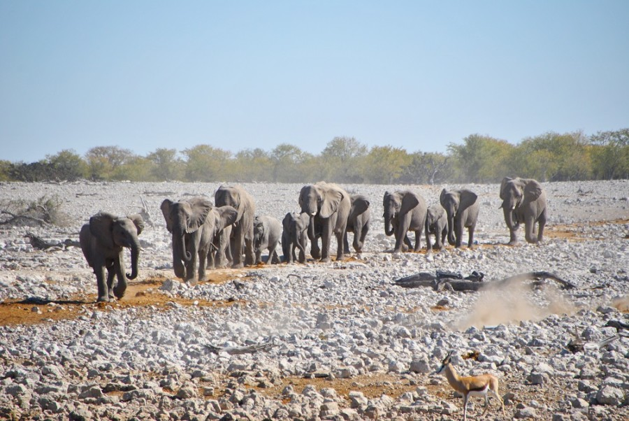 elefanti etosha1000