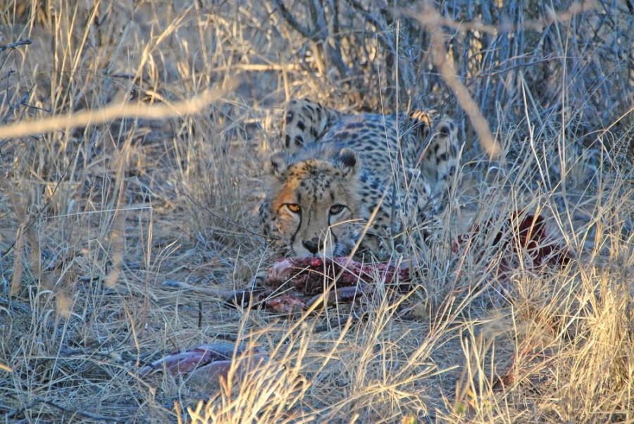 ghepardo namibia trekking1000