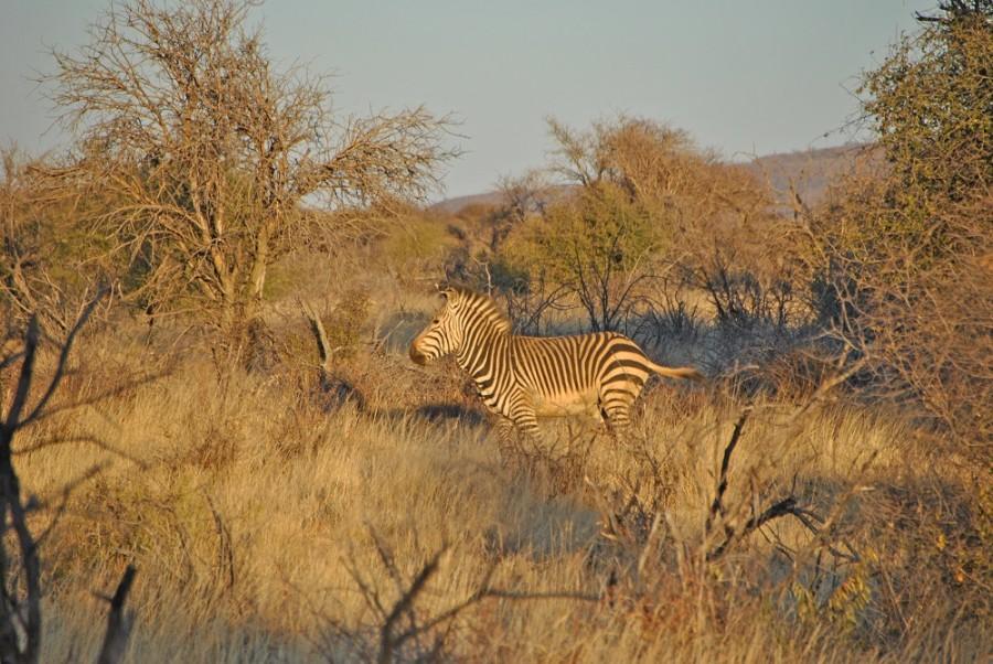 zebra savana africa namibia
