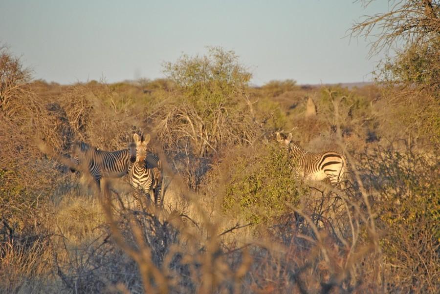 zebre e felini namibia1000