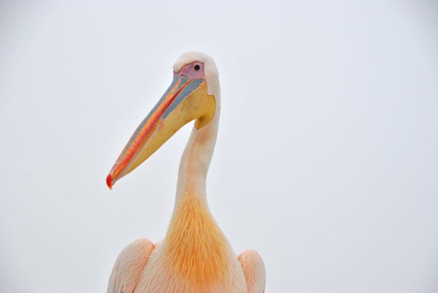 pellicano-swakopmund1000