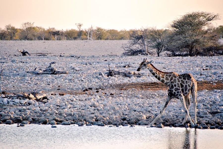giraffa etosha
