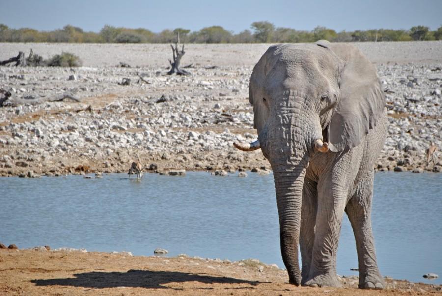 elefante etosha1000