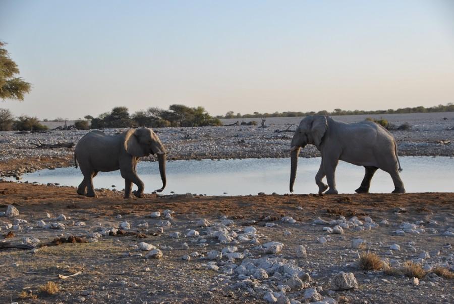 elefanti etosha1000 1