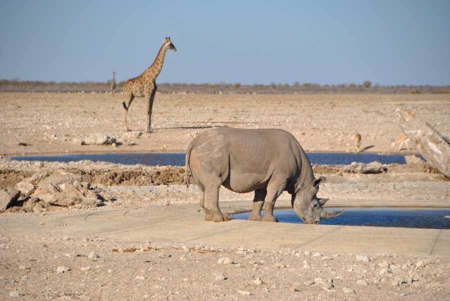 giraffa rino etosha1000