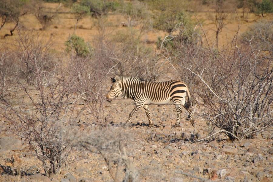 zebra etosha1000