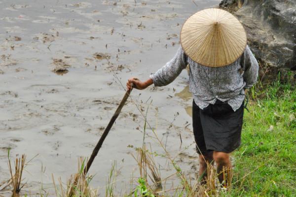 Lavoratrice-nelle-risaie-di-Mai-Chau