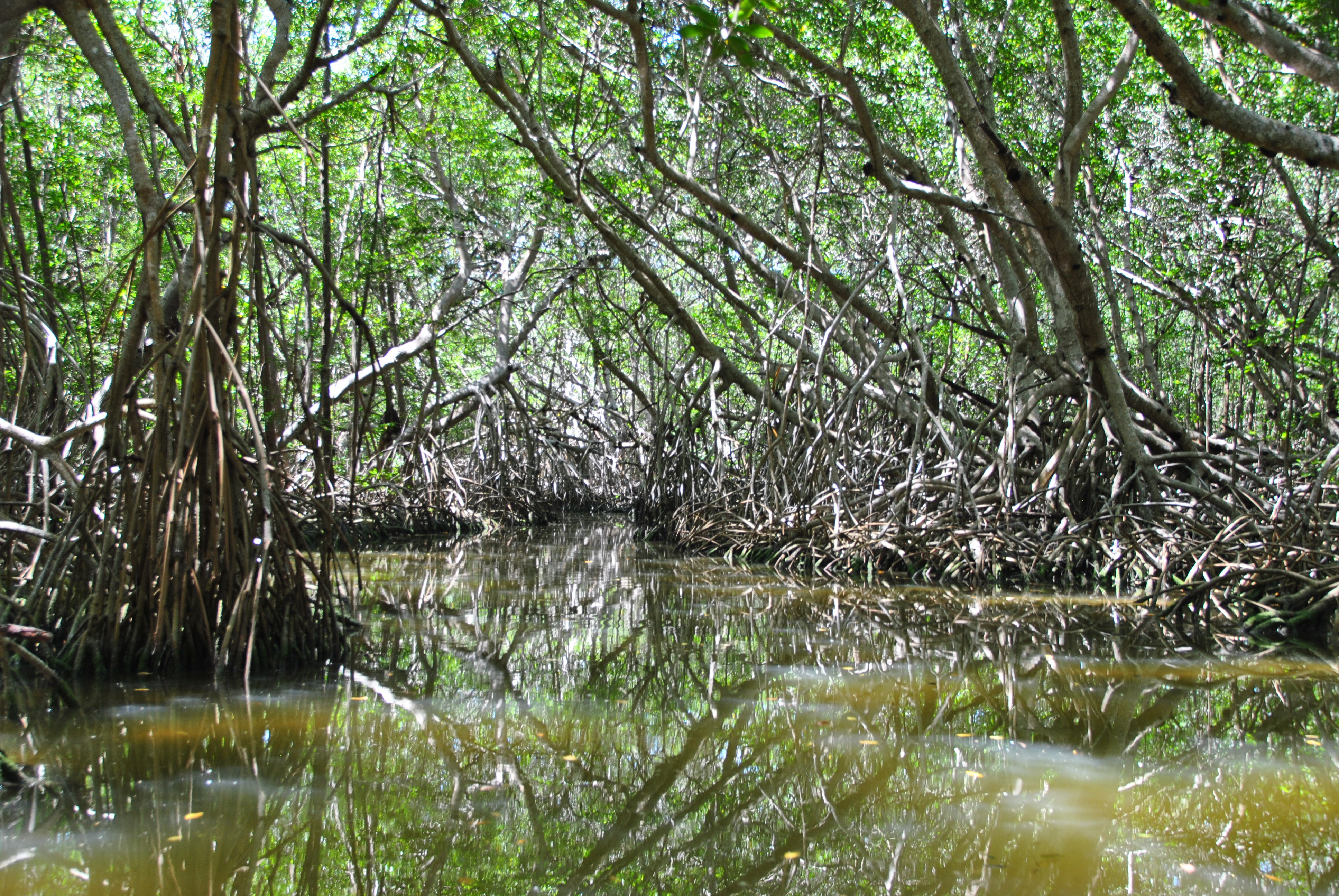 green - mangroov