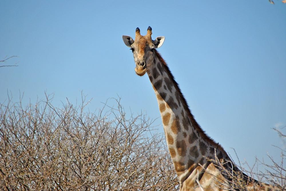 giraffa etosha1000